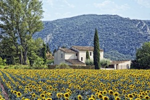 sunflowers-provence-tours